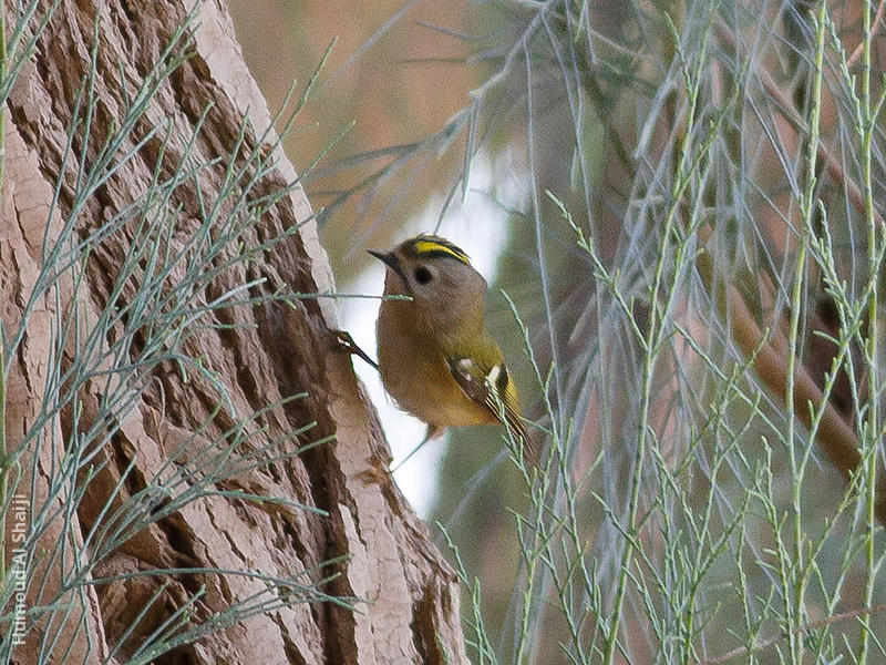 Goldcrest (1st record, Al Abraq, Dec. 2013)