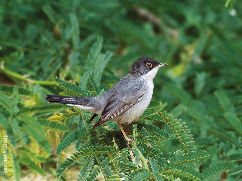 Ménétriés's Warbler (Male)