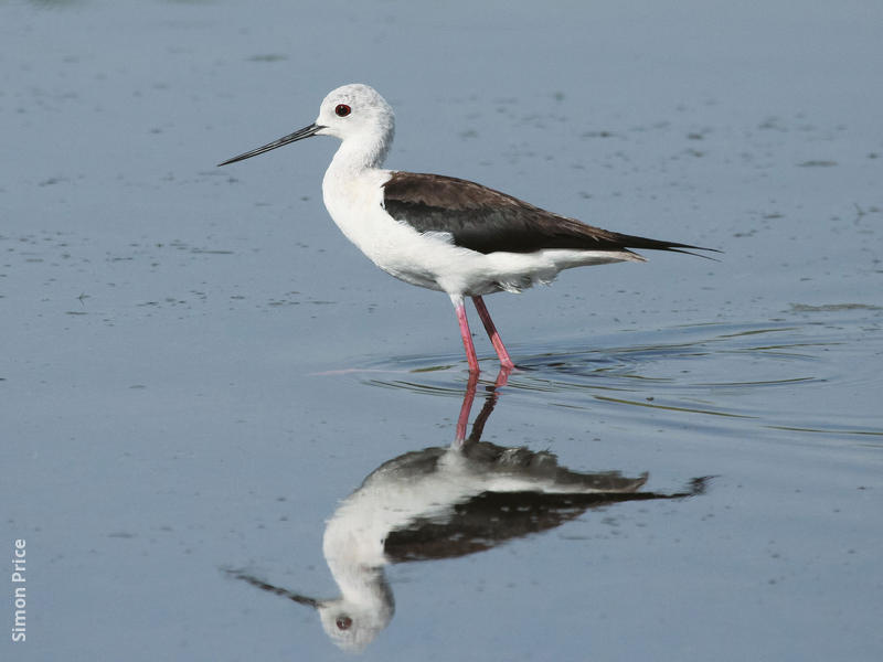 Black-winged Stilt (Female)