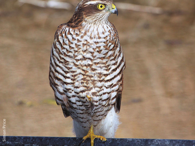 Eurasian Sparrowhawk (Juvenile)
