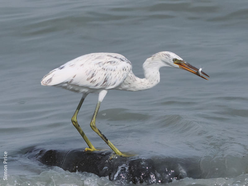 Indian Reef Heron (White morph)