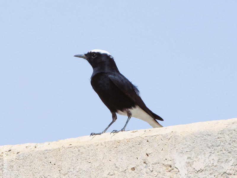White-crowned Wheatear (Spring)