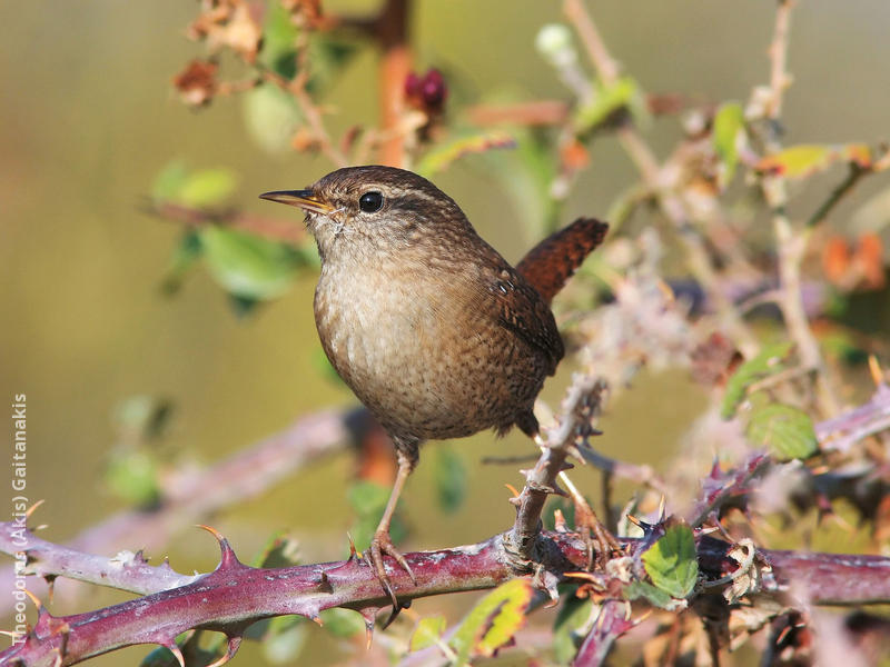 Winter Wren (GREECE)