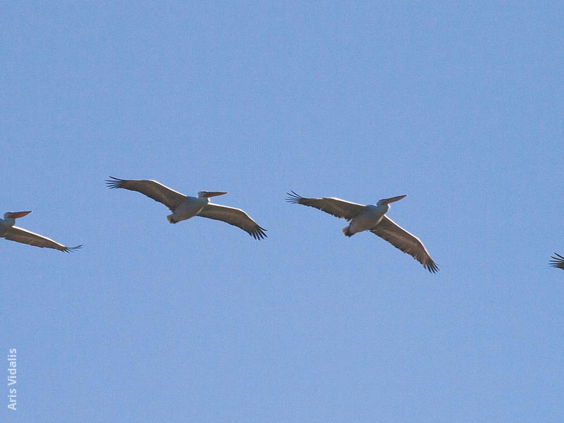 Dalmatian Pelicans (GREECE)