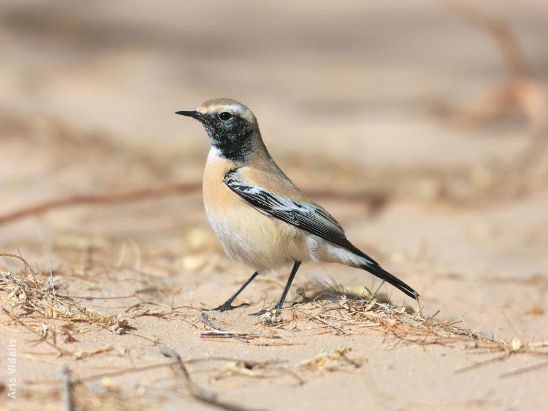 Desert Wheatear (Male winter)
