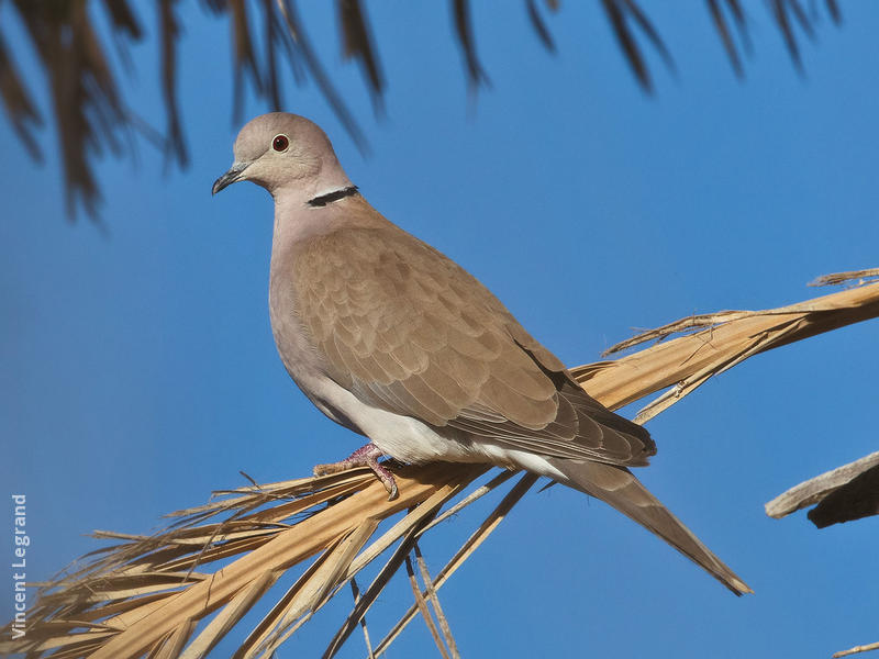 African Collared Dove (EGYPT)