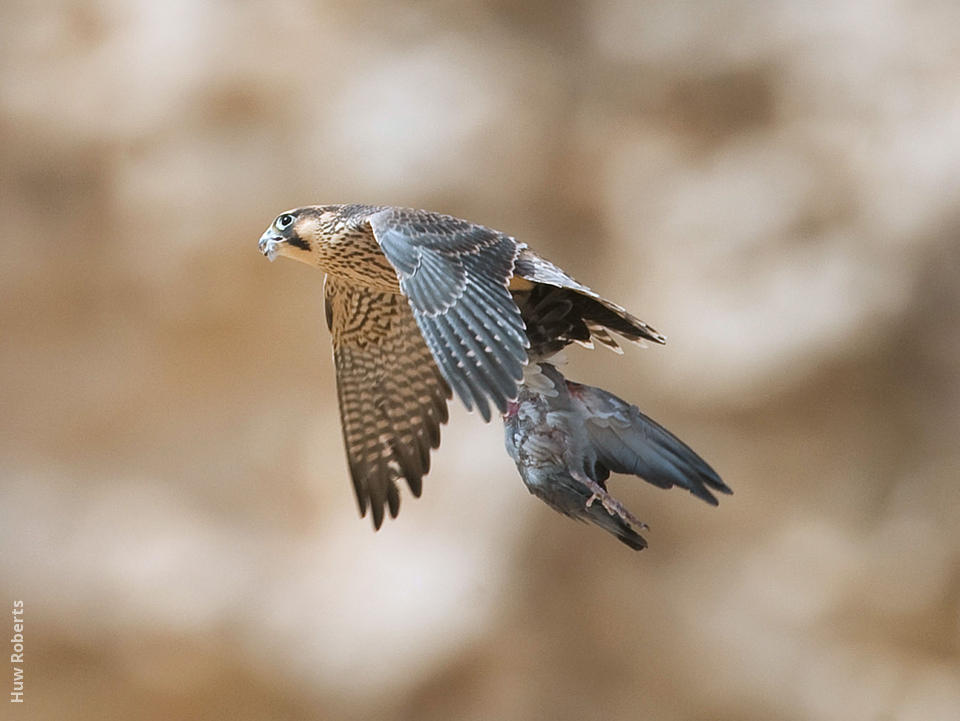 Barbary Falcon | KuwaitBirds org