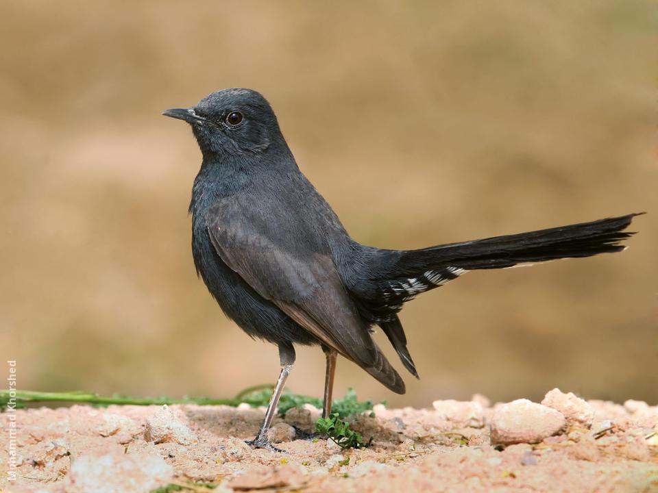 Black Scrub Robin Kuwaitbirds Org