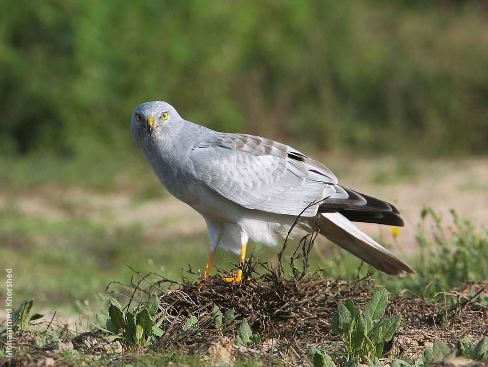 Birding Trip Report to Gujarat, India; November 2004 Male hen harrier photos