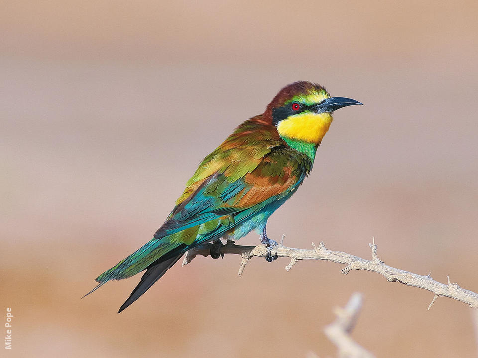 European bee eater size - photo#11