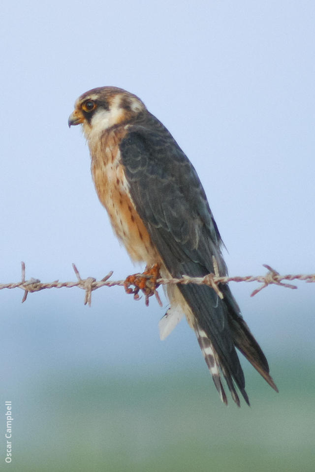Red-footed Falcon | KuwaitBirds org