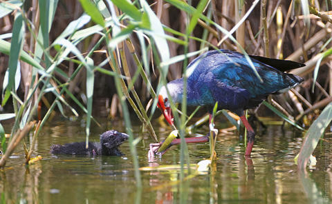 The Purple Swamphen is a rare breeder in the Western Palearctic. A few pairs nest in Kuwait. (photo by Christine Canzanella)