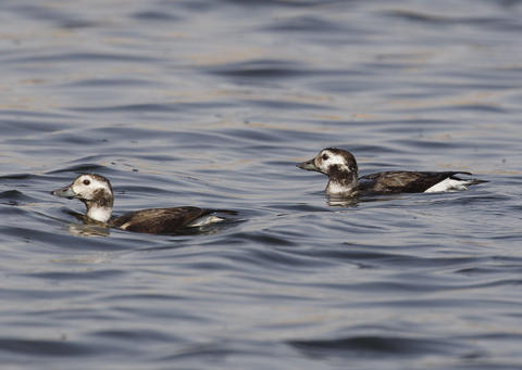 Long Tailed Ducks - observed in Kuwait for the first time in November 2012 (MP)