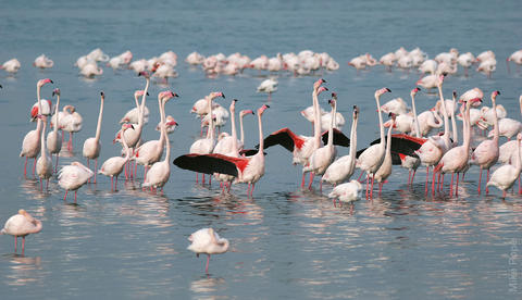 Greater Flamingos in Sulaibikhat Bay (photo by Mike Pope)