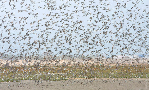 Dunlin, turnstone and other waders flock on Kuwait Bay mudflats (photo by Pekka Fagel)