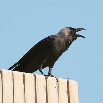 Crows - Jays