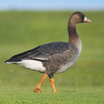 Ducks - Geese - Swans