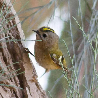 Goldcrests - Kinglets