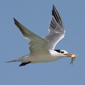 Gulls - Terns - Skimmers