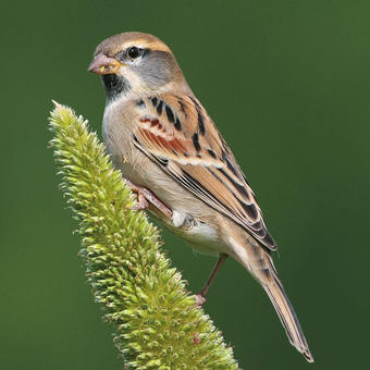 Old World Sparrows - Snowfinches
