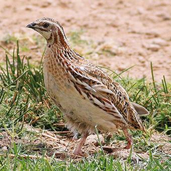 Pheasants - Fowl