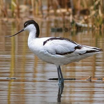 Stilts - Avocets