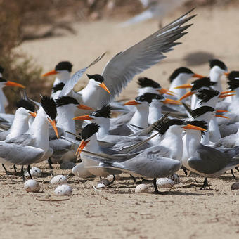 Lesser Crested Terns colony in Kubbar (photo by Mike Pope)