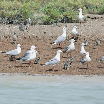 Slender-billed Gulls breeding on Bubiyan Island (photo by Mike Pope)