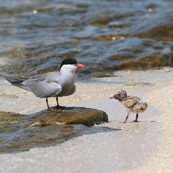 White-cheecked Tern with chick on islet colony (photo by Mike Pope)