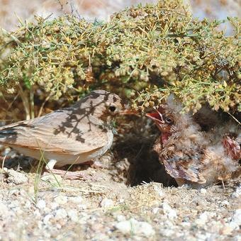 Bar-tailed Lark feeding chicks (photo by Khaled Al Nasrallah)