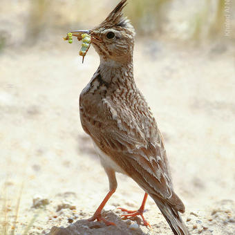 Crested Lark carrying food to it's nest (photo by Khaled Al Nasrallah)