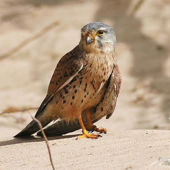 Common Kestrel (photo by Mike Pope)