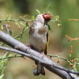 Eastern Goldfinch (INDIA)