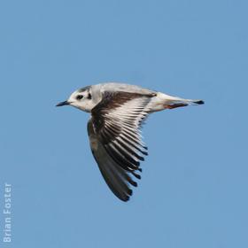Little Gull (Immature winter)