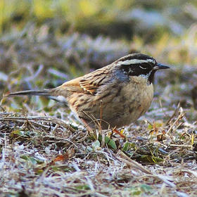 Black-throated Accentor (Male, INDIA)