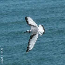Black-legged Kittiwake (Immature, UK)