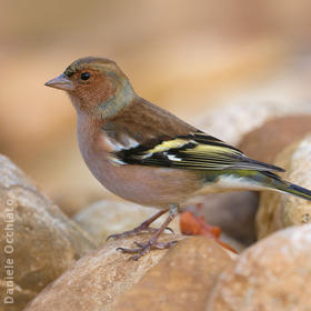 Common Chaffinch (Male winter, ITALY)