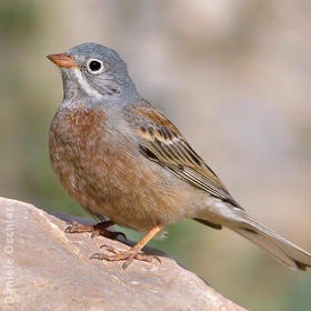 Grey-necked Bunting (Turkey)