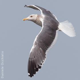 Heuglin's Gull (Winter)