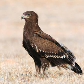Lesser Spotted Eagle (Immature, OMAN)
