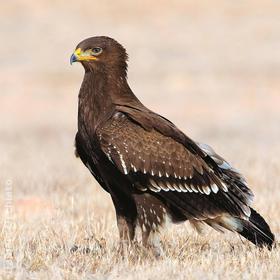 Lesser Spotted Eagle (Immature,OMAN)