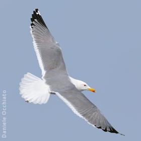 Steppe Gull (Spring)