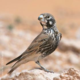 Thick-billed Lark (Male spring,TUNISIA)