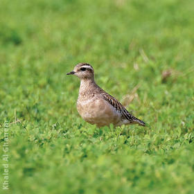 Eurasian Dotterel (Immature winter)