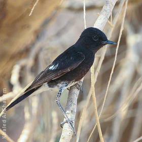 Pied Stonechat (Spring)