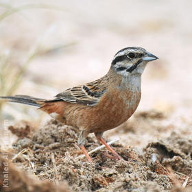 Rock Bunting (Non-breeding plumage)