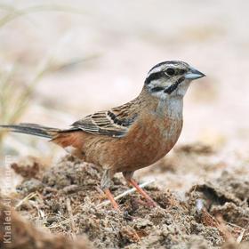 Rock Bunting (Non-breeding plumage)