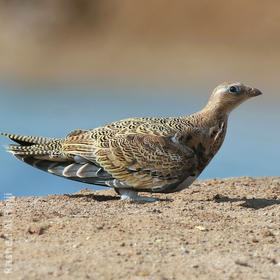 Black-bellied Sandgrouse (Immature or female)