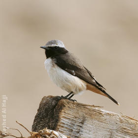 Kurdistan Wheatear (Male)
