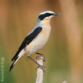 Northern Wheatear (Male)